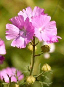 Julie's pink flowers