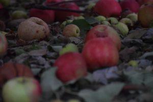 hww-apples